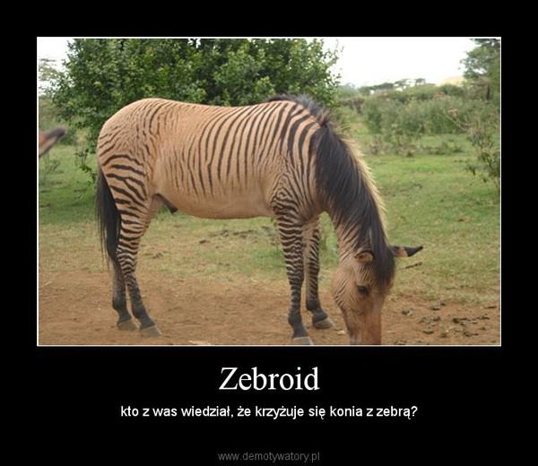 Zebroid – kto z was wiedział, że krzyżuje się konia z zebrą?