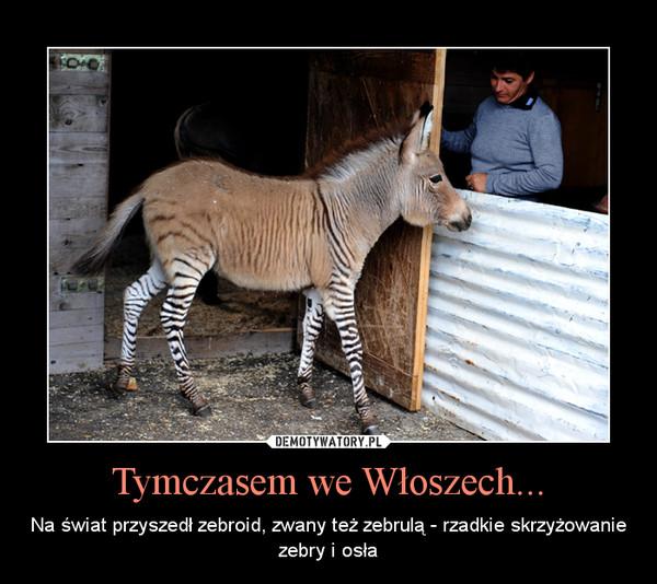 Tymczasem we Włoszech... – Na świat przyszedł zebroid, zwany też zebrulą - rzadkie skrzyżowanie zebry i osła