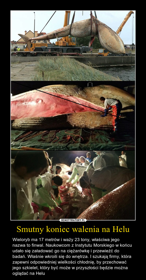 Smutny koniec walenia na Helu – Wieloryb ma 17 metrów i waży 23 tony, właściwa jego nazwa to finwal. Naukowcom z Instytutu Morskiego w końcu udało się załadować go na ciężarówkę i przewieźć do badań. Właśnie wkroili się do wnętrza. I szukają firmy, która zapewni odpowiedniej wielkości chłodnię, by przechować jego szkielet, który być może w przyszłości będzie można oglądać na Helu