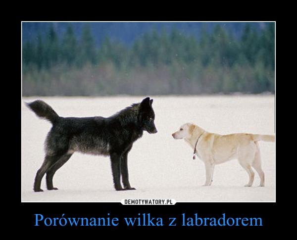 Porównanie wilka z labradorem –