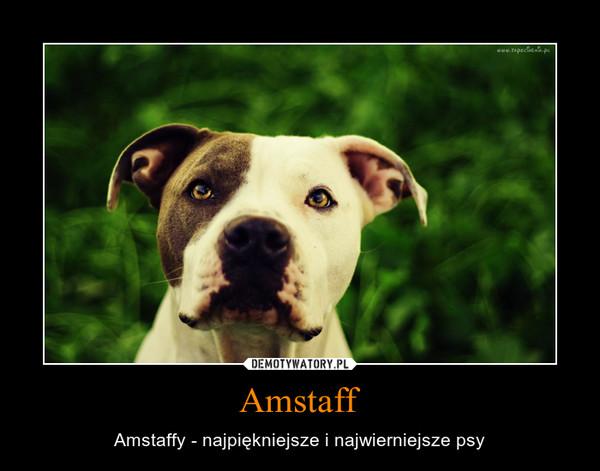 Amstaff – Amstaffy - najpiękniejsze i najwierniejsze psy