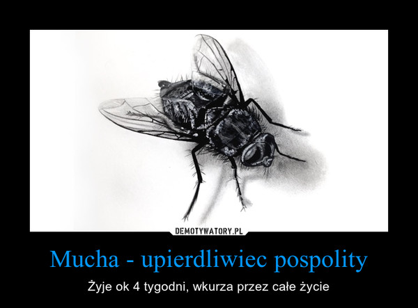 Mucha - upierdliwiec pospolity – Żyje ok 4 tygodni, wkurza przez całe życie
