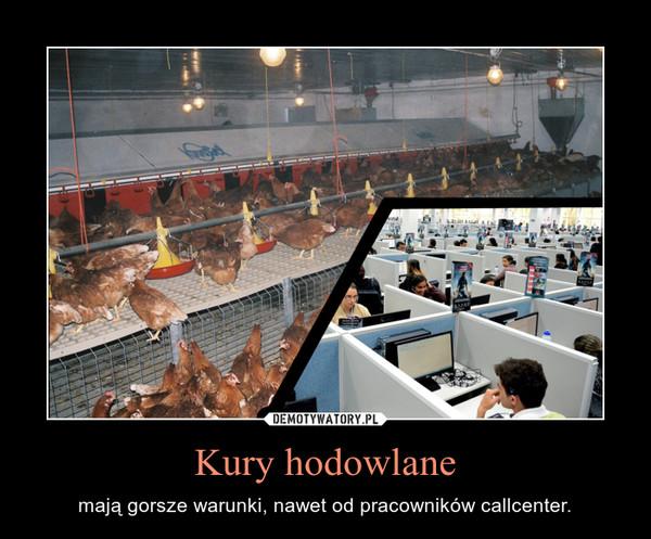 Kury hodowlane – mają gorsze warunki, nawet od pracowników callcenter.