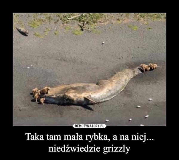 Taka tam mała rybka, a na niej... niedźwiedzie grizzly –