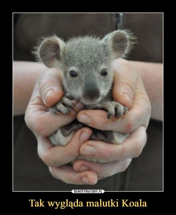 Tak wygląda malutki Koala –