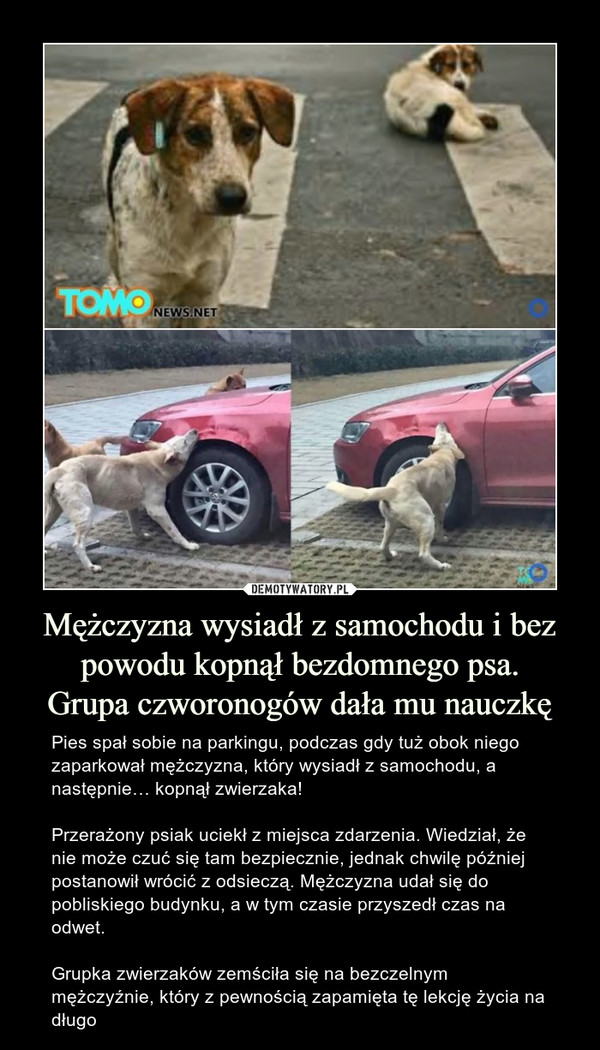 Mężczyzna wysiadł z samochodu i bez powodu kopnął bezdomnego psa.Grupa czworonogów dała mu nauczkę – Pies spał sobie na parkingu, podczas gdy tuż obok niego zaparkował mężczyzna, który wysiadł z samochodu, a następnie… kopnął zwierzaka!Przerażony psiak uciekł z miejsca zdarzenia. Wiedział, że nie może czuć się tam bezpiecznie, jednak chwilę później postanowił wrócić z odsieczą. Mężczyzna udał się do pobliskiego budynku, a w tym czasie przyszedł czas na odwet. Grupka zwierzaków zemściła się na bezczelnym mężczyźnie, który z pewnością zapamięta tę lekcję życia na długo tomonews.net