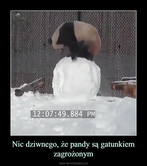 Nic dziwnego, że pandy są gatunkiem zagrożonym –