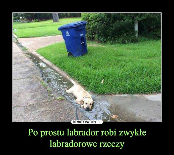Po prostu labrador robi zwykłe labradorowe rzeczy –