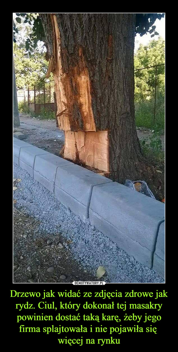 Drzewo jak widać ze zdjęcia zdrowe jak rydz. Ciul, który dokonał tej masakry powinien dostać taką karę, żeby jego firma splajtowała i nie pojawiła się więcej na rynku –