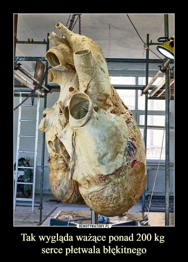 Tak wygląda ważące ponad 200 kg serce płetwala błękitnego –
