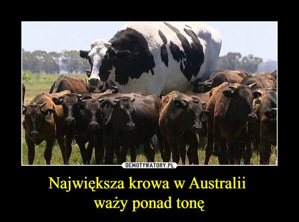 Największa krowa w Australii waży ponad tonę –