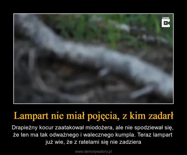 Lampart nie miał pojęcia, z kim zadarł – Drapieżny kocur zaatakował miodożera, ale nie spodziewał się, że ten ma tak odważnego i walecznego kumpla. Teraz lampart już wie, że z ratelami się nie zadziera