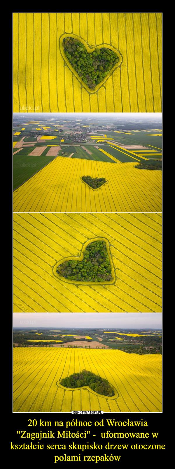 """20 km na północ od Wrocławia """"Zagajnik Miłości'' -  uformowane w kształcie serca skupisko drzew otoczone polami rzepaków –"""