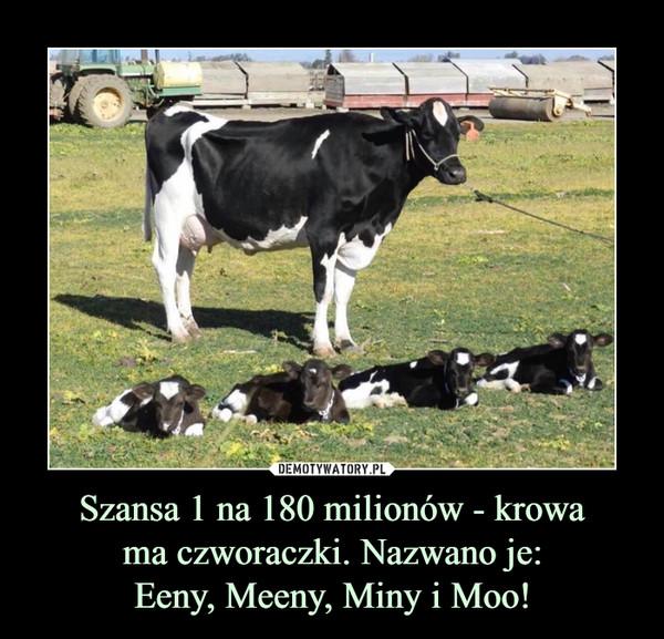 Szansa 1 na 180 milionów - krowama czworaczki. Nazwano je:Eeny, Meeny, Miny i Moo! –