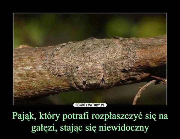 Pająk, który potrafi rozpłaszczyć się na gałęzi, stając się niewidoczny –