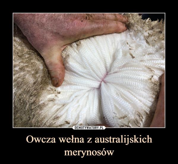 Owcza wełna z australijskich merynosów –