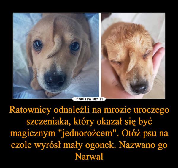 """Ratownicy odnaleźli na mrozie uroczego szczeniaka, który okazał się być magicznym """"jednorożcem"""". Otóż psu na czole wyrósł mały ogonek. Nazwano go Narwal –"""