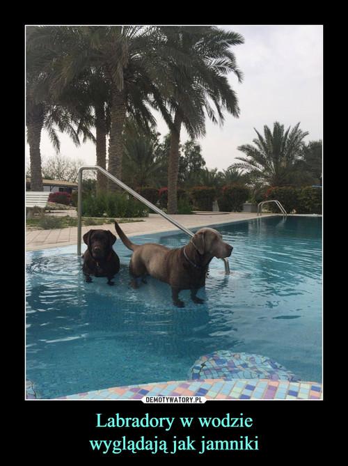 Labradory w wodzie wyglądają jak jamniki