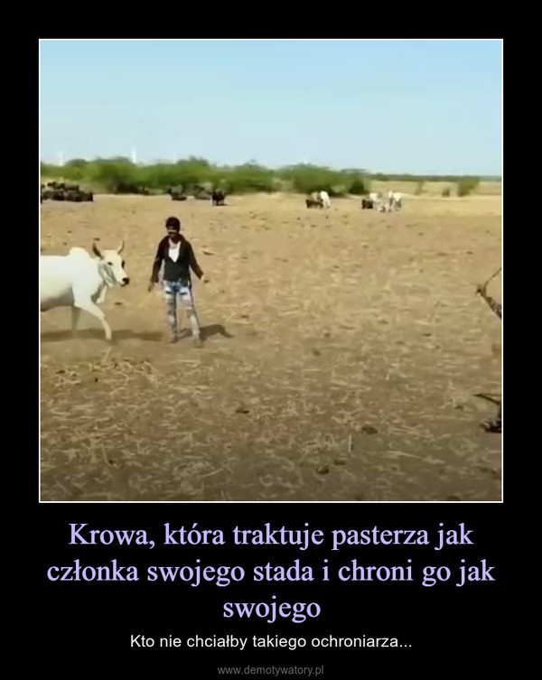 Krowa, która traktuje pasterza jak członka swojego stada i chroni go jak swojego – Kto nie chciałby takiego ochroniarza...
