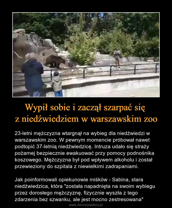 """Wypił sobie i zaczął szarpać się z niedźwiedziem w warszawskim zoo – 23-letni mężczyzna wtargnął na wybieg dla niedźwiedzi w warszawskim zoo. W pewnym momencie próbował nawet podtopić 37-letnią niedźwiedzicę. Intruza udało się straży pożarnej bezpiecznie ewakuować przy pomocy podnośnika koszowego. Mężczyzna był pod wpływem alkoholu i został przewieziony do szpitala z niewielkimi zadrapaniami. Jak poinformowali opiekunowie miśków - Sabina, stara niedźwiedzica, która """"została napadnięta na swoim wybiegu przez dorosłego mężczyznę, fizycznie wyszła z tego zdarzenia bez szwanku, ale jest mocno zestresowana"""""""