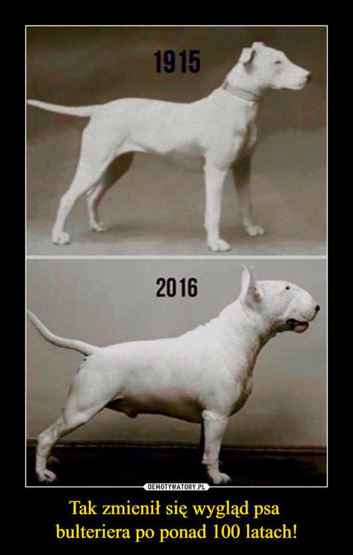 Tak zmienił się wygląd psa  bulteriera po ponad 100 latach!