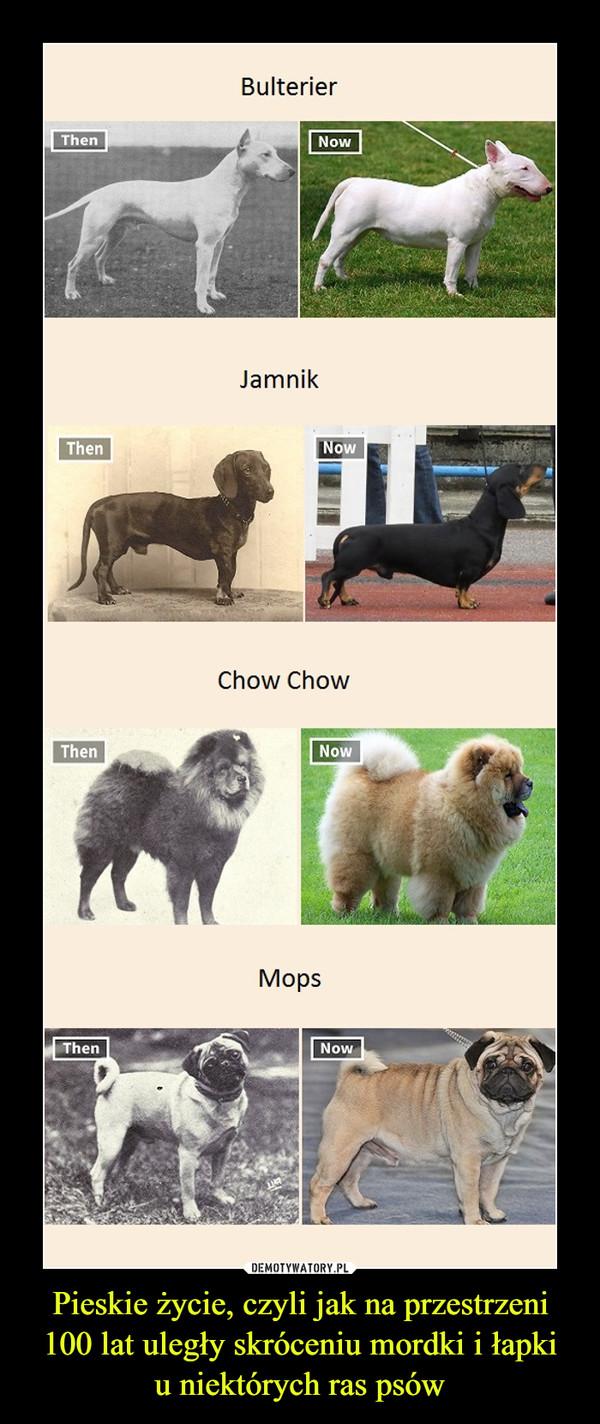 Pieskie życie, czyli jak na przestrzeni 100 lat uległy skróceniu mordki i łapkiu niektórych ras psów –