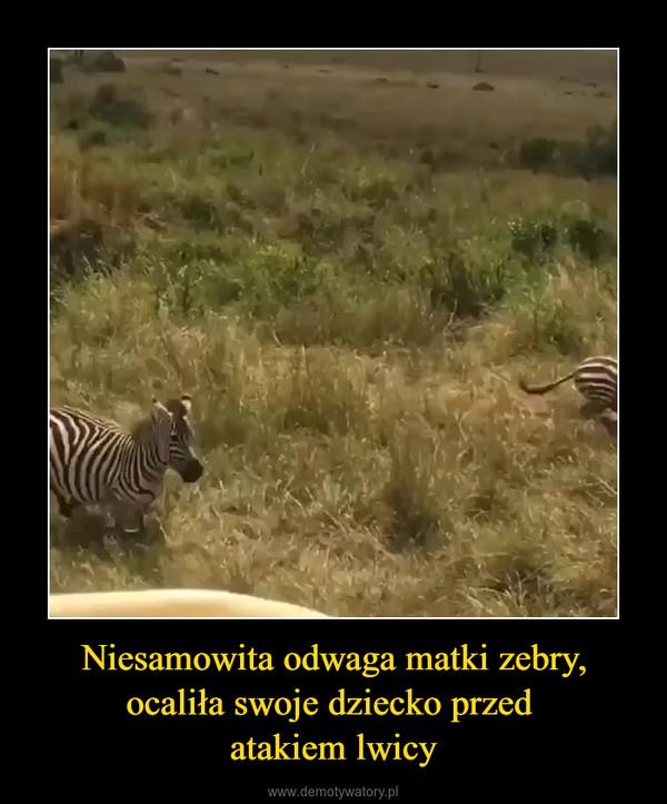 Niesamowita odwaga matki zebry, ocaliła swoje dziecko przed atakiem lwicy –