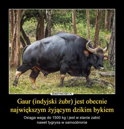Gaur (indyjski żubr) jest obecnie największym żyjącym dzikim bykiem