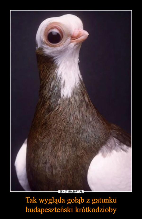 Tak wygląda gołąb z gatunku budapeszteński krótkodzioby –