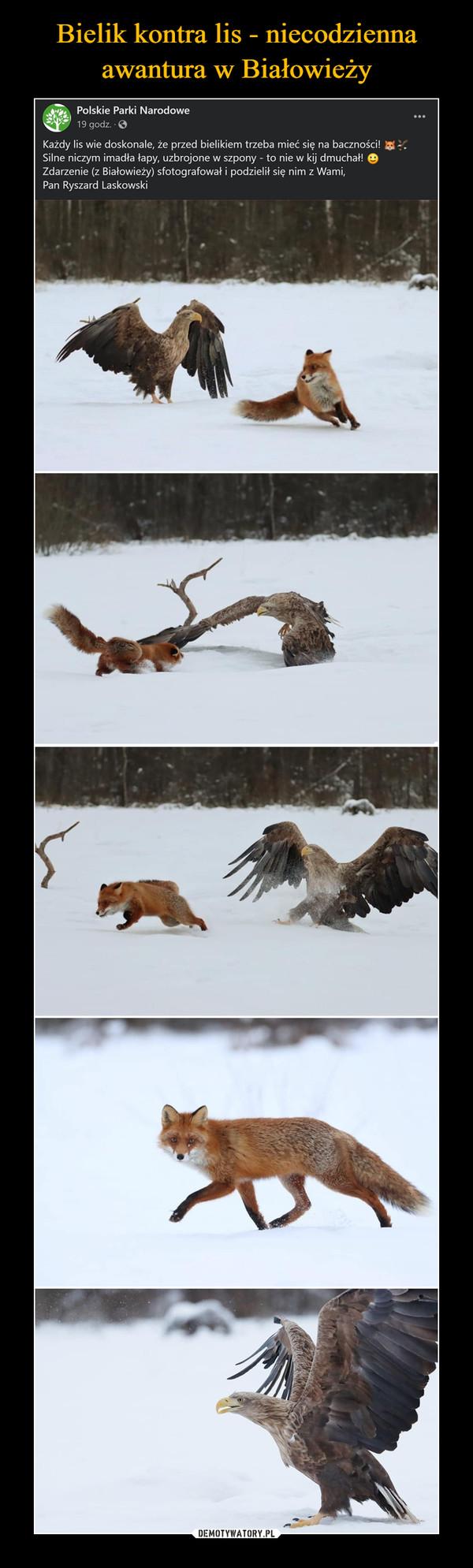 –  Bielik kontra lis - niecodziennaawantura w BiałowieżyPolskie Parki Narodowe19 godz. OKażdy lis wie doskonale, że przed bielikiem trzeba mieć się na baczności!Silne niczym imadła łapy, uzbrojone w szpony - to nie w kij dmuchał! eZdarzenie (z Białowieży) sfotografował i podzielił się nim z Wami,Pan Ryszard LaskowskiDEMOTYWATORY.PL