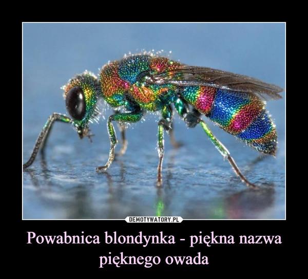 Powabnica blondynka - piękna nazwa pięknego owada –