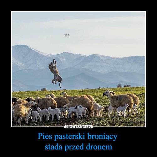 Pies pasterski broniący  stada przed dronem