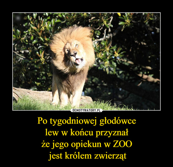 Po tygodniowej głodówce lew w końcu przyznał że jego opiekun w ZOO jest królem zwierząt –