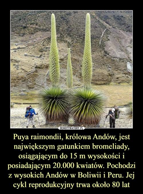 Puya raimondii, królowa Andów, jest największym gatunkiem bromeliady, osiągającym do 15 m wysokości i posiadającym 20.000 kwiatów. Pochodzi z wysokich Andów w Boliwii i Peru. Jej cykl reprodukcyjny trwa około 80 lat