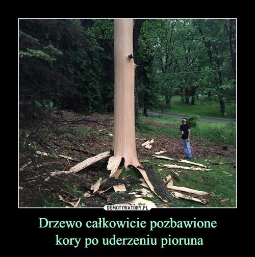 Drzewo całkowicie pozbawione  kory po uderzeniu pioruna