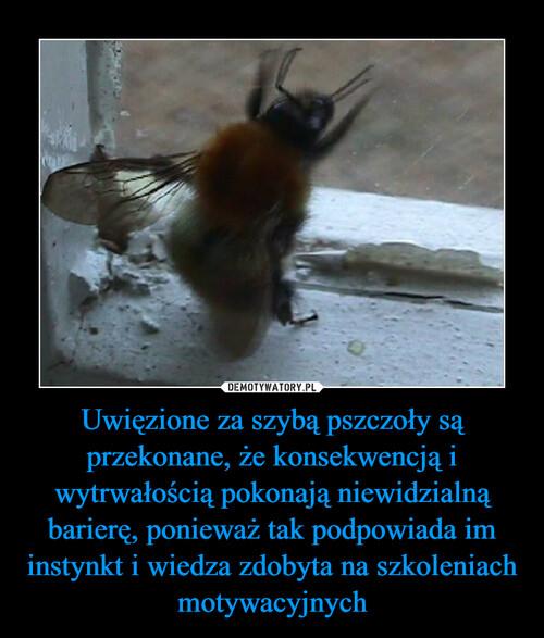 Uwięzione za szybą pszczoły są przekonane, że konsekwencją i wytrwałością pokonają niewidzialną barierę, ponieważ tak podpowiada im instynkt i wiedza zdobyta na szkoleniach motywacyjnych