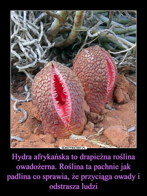 Hydra afrykańska to drapieżna roślina owadożerna. Roślina ta pachnie jak padlina co sprawia, że przyciąga owady i odstrasza ludzi