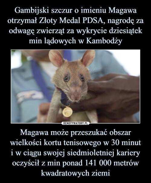 Gambijski szczur o imieniu Magawa otrzymał Złoty Medal PDSA, nagrodę za odwagę zwierząt za wykrycie dziesiątek min lądowych w Kambodży Magawa może przeszukać obszar wielkości kortu tenisowego w 30 minut i w ciągu swojej siedmioletniej kariery oczyścił z min ponad 141 000 metrów kwadratowych ziemi
